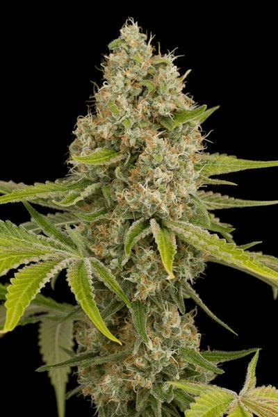 og kush dnf smoke report smoke reports cannabis