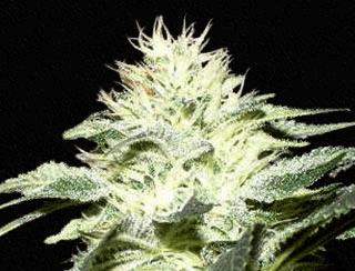 White Widow (QS)