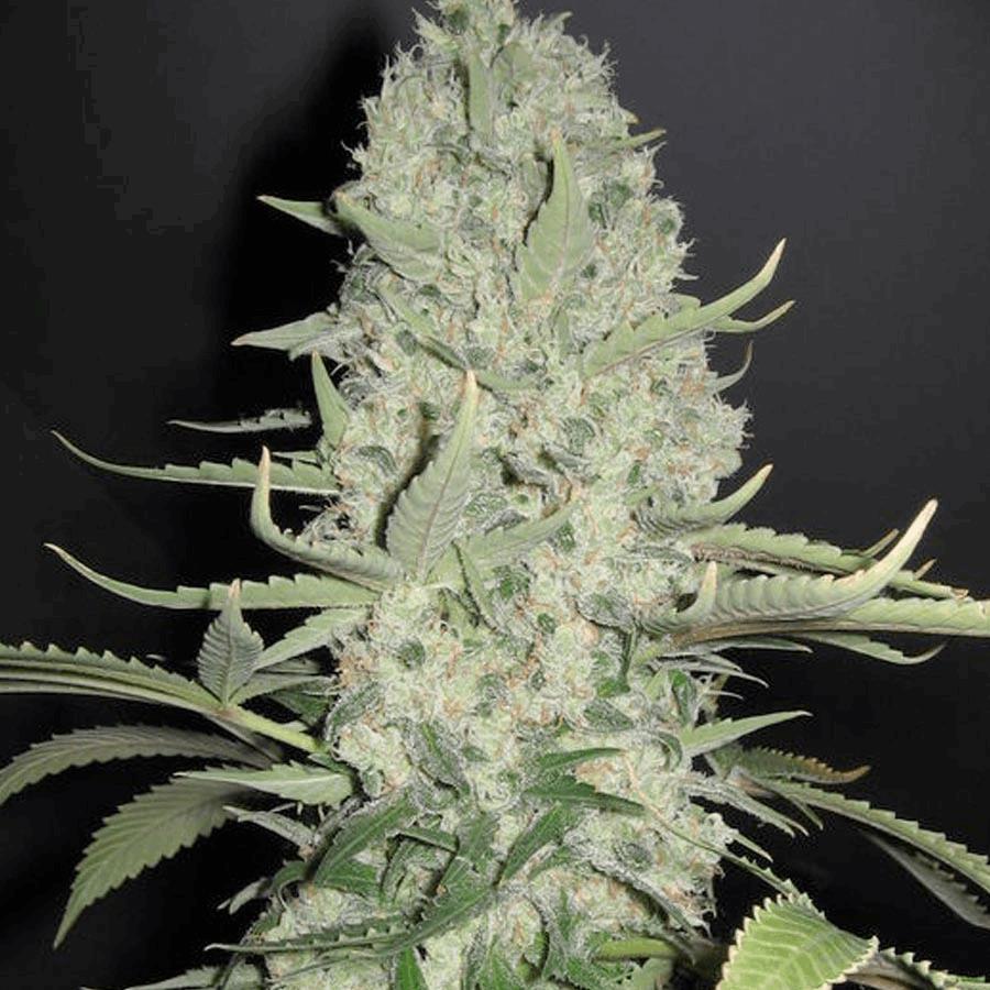 X-Line White Widow x Big Bud