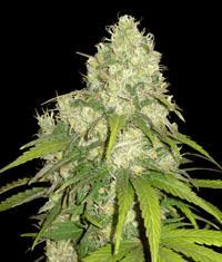 Vari t s page 6 cannaweed for Afghan kush exterieur