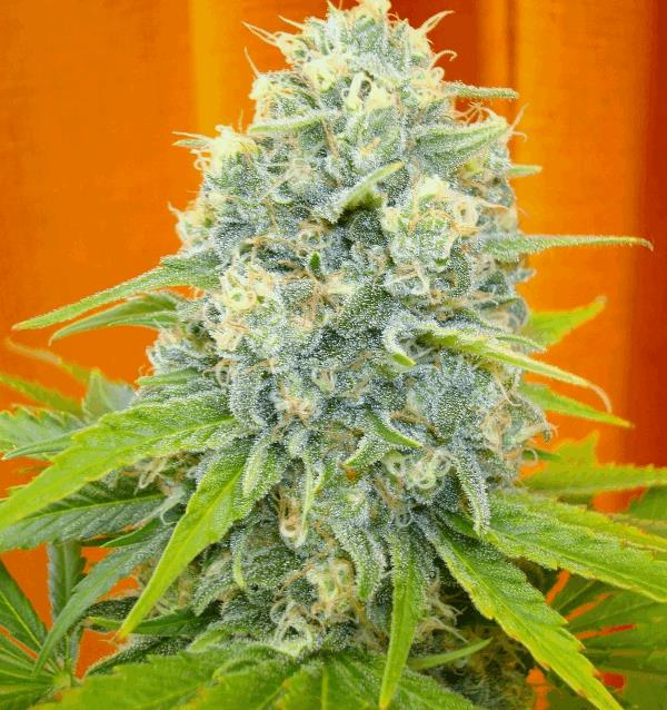 Channel grow report grow report cannabis cannaweed for Floraison cannaweed