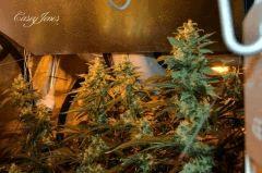 Sour Diesel / Casey Jones / SSSdh / C99