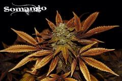 Somango 65 jrs Flo