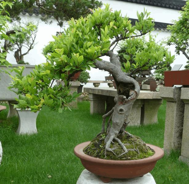 Ballade en chine jardin de bonsa s 3 autres plantes - Jardin de bonsais ...