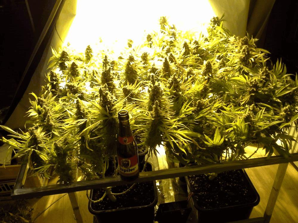 Jdc belge in out scrog 400w terre early skunk for Skunk interieur