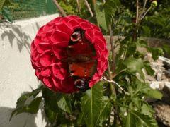 Papillon sur Dahlia .