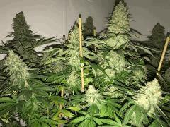 Big Bud - Sensi Seeds
