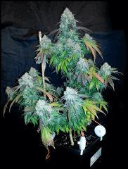 HSO Green Crack #1 cut à flo +73
