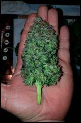 HSO Green Crack #2 cut à flo +74