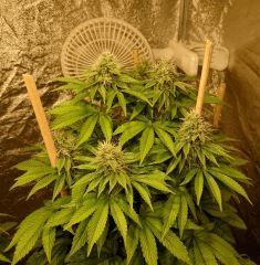 Sin City Seeds True Power OG #2 - 12/12 + 35