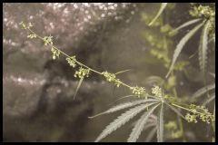 Jack Herer mâle #1 Sensi seeds 2017 (44 12/12)