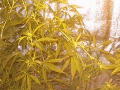 Pliage de la plante