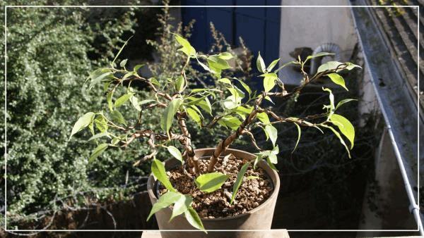 le grand ficus bonsai fev2017.jpg