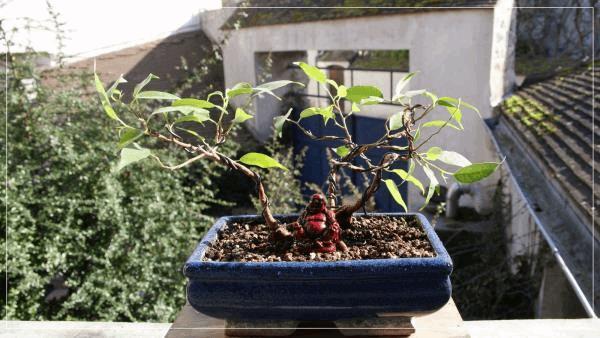 le petit ficus bonsai fev2017.jpg