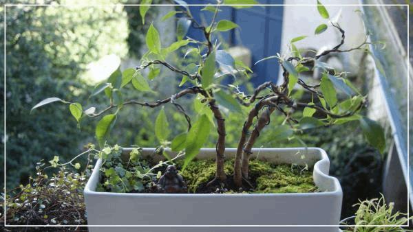 ficus bonsaï1.jpg