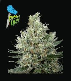 ripper-haze_2732_1_.jpg