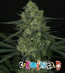 criminal-_2727_1_.jpg