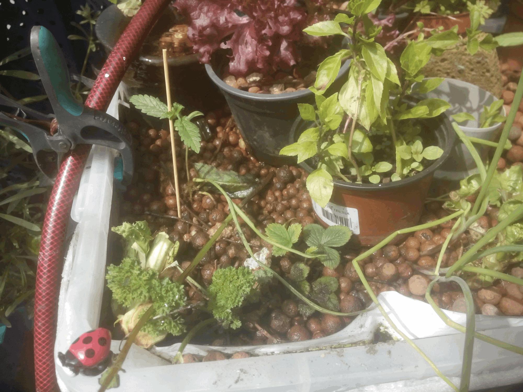Jdc3 multivari t female seeds avec de la terre de l - Salade a couper qui repousse ...