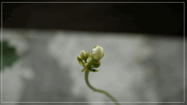 Dionée fleur.jpg