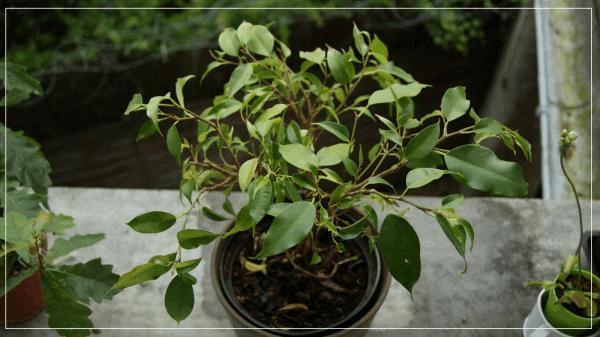 AUTRES bonsaï fucis B.jpg