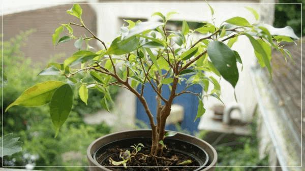AUTRES bonsaï fucis A.jpg