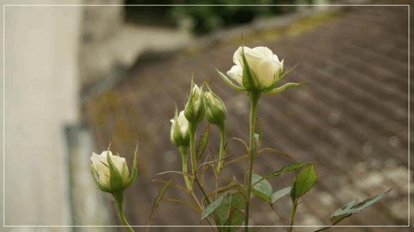 rosier B.jpg