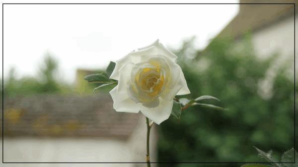 rosier C.jpg