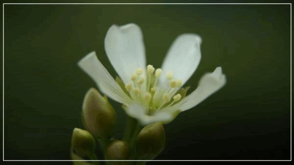 Fleur de Dioné C.jpg