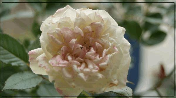 rosier D.jpg