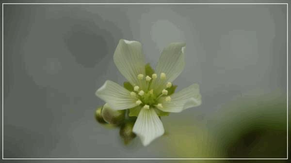 Fleur de Dioné A.jpg