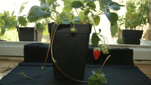le fraisier redonne des fraises.jpg