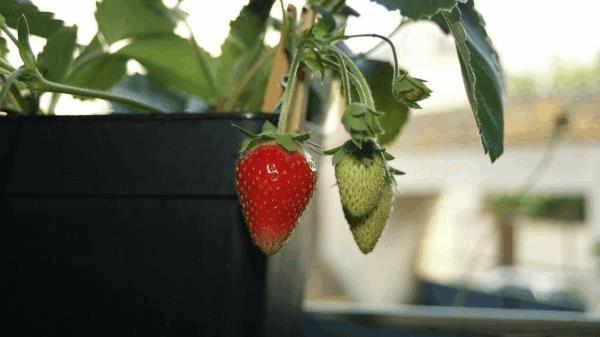 le fraisier redonne des fraises A.jpg