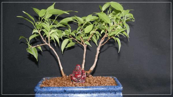 Ficus Bonsai.jpg