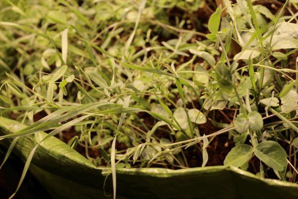 Permaculture d 39 int rieur le no till gardening culture for Culture cannabis interieur engrais