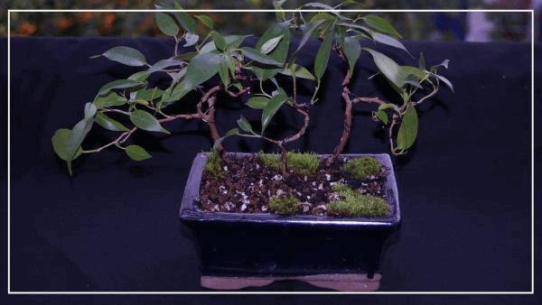 bonsaï ficus benjamina#2.jpg