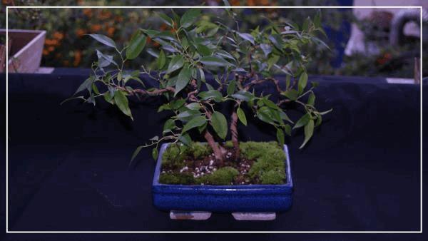 bonsaï ficus benjamina#1.jpg