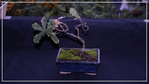 bonsaï chêne#2.jpg