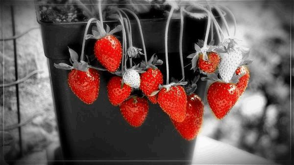 fraise + n&b rouge.jpg