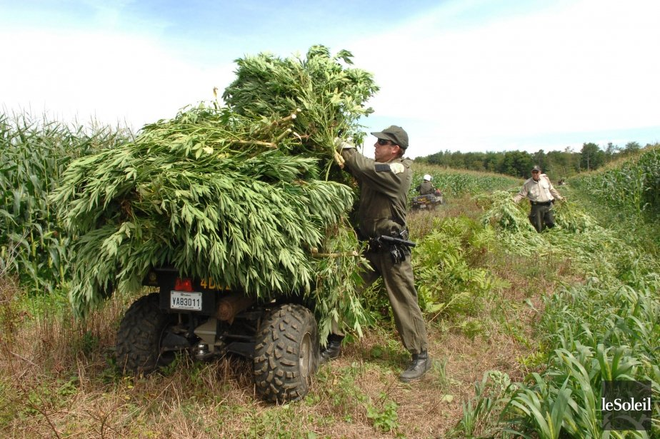 Canada - Les champs de cannabis au secours des communautés rurales?