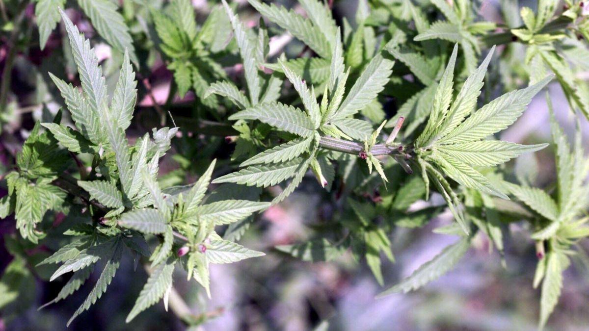 Bordeaux Neurocampus : un médicament contre l'addiction au cannabis en 2024