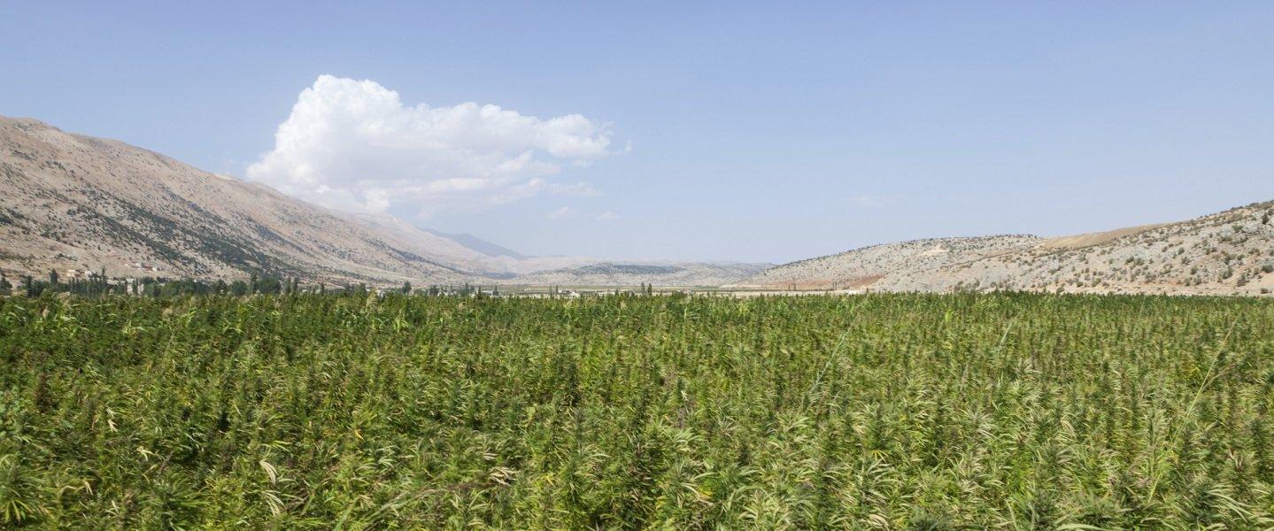 L'histoire avec un hasch - Les fleurs du mal : une autre histoire du cannabis