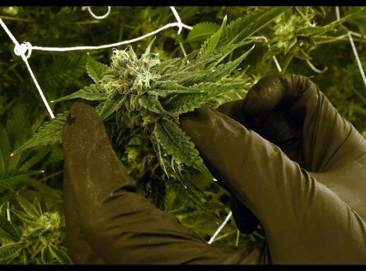 FUMETTE La Californie produit trop de weed. Nos idées pour écouler les stocks