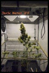 Jack Herer #5