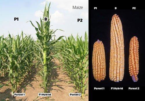 maize-f1-hybrids-sm.jpg.03f2bf41ed233ece15c6c29f3863c836.jpg