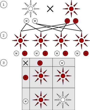 mendelian-inheritance.jpg.a61bee0235afb9b5d1f5eeac70ac282d.jpg