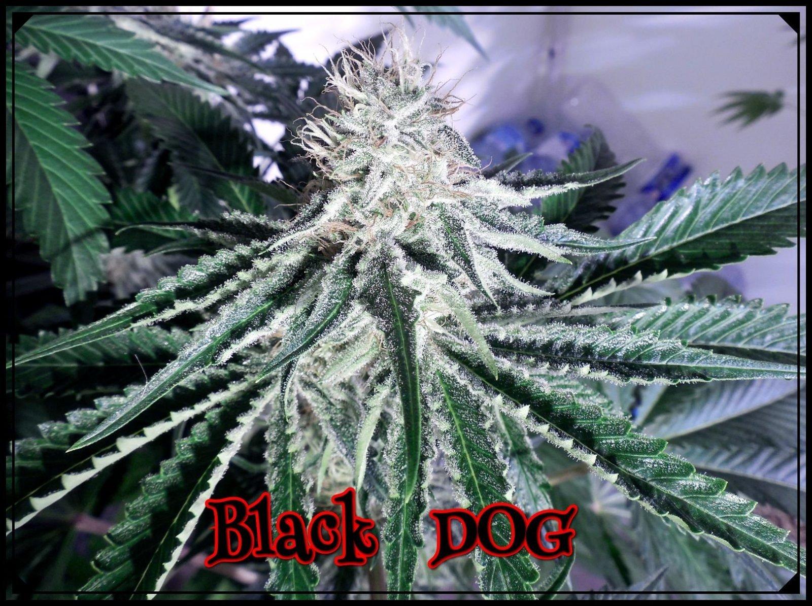 large.BlackDOG6.jpeg.69f50da3848a8eac48c