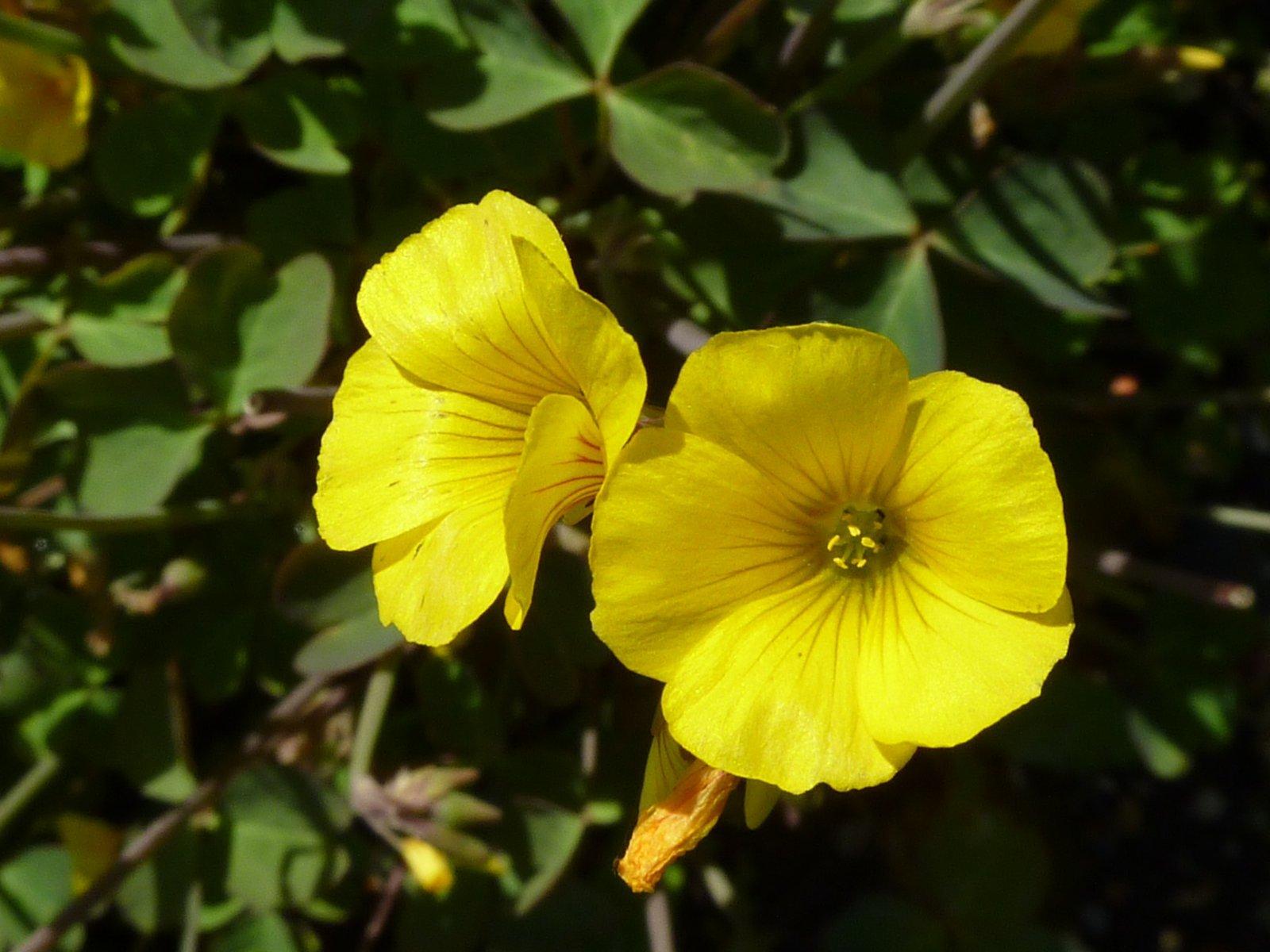 large.Oxalis_valdiviensis.JPG.88eebdb054