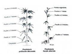 planche phylotaxie.jpg
