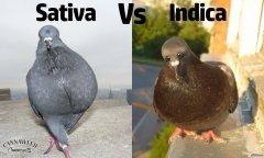 pigeon - sativa Vs indica