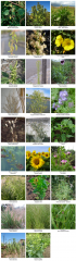 Photos_Especes_Syntaxon_Sysimbrium_officinale.png